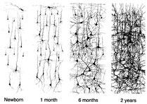 neuronales Netz: Entwicklung bis zum zweiten Lebensjahr