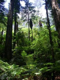 im Redwood Forest