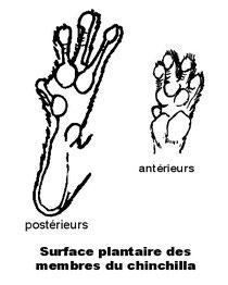Morfología de pata delantera y trasera de Chinchilla donde se aprecian los dedos parcialmente atrofiados.