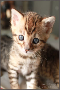 bengal cat chat chaton rosettes sparble glitter livraison