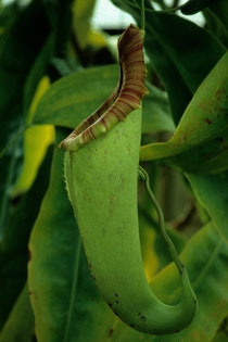 Nepenthes X mixta (N. maxima x N. northiana)  - Plantes cultivées - Dias numérisée