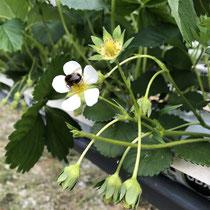 fleurs de fraisiers au printemps producteur les saveurs de Gâtine