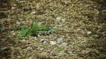 Suchbild: Wer sieht das Kiebitzküken? Geschlüpft Ende April im Heidach in Kressbronn (Foto: Luis Ramos)