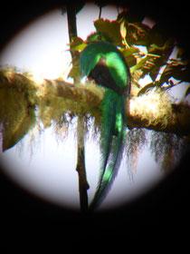 ... und das Quetzal-Männchen (erkennbar am langen Schwanz), beide aufgenommen durch ein Fernrohr