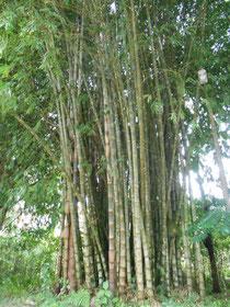 Solch große Bambuswälder haben wir selbst in Asien noch nicht gesehen