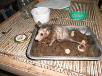 Dieses Baby-Opossum wird gerade aufgepäppelt