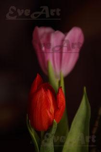 E2 Tulpen