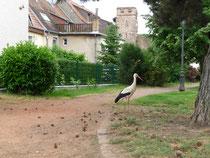 Vue de la Porte de Thann à Cernay avec une cigogne en premier plan