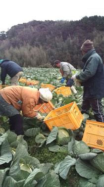 キャベツ 収穫 収穫体験