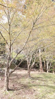 山の木の画像写真フリー素材 Mountain tree image photo free material