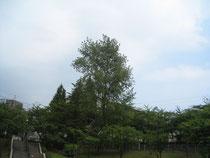 そびえる大樹 萩が丘公園