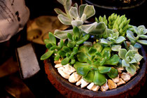 花野庭_多肉植物イメージ2