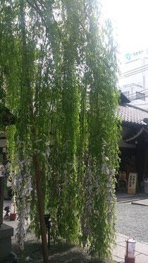 こちらは六角堂内にある柳。縁結びの柳とあってよく見て頂くとおみくじがいっぱーい結んでありますよ。