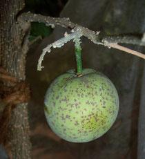 weiße Sapote - Breiapfel