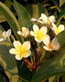 Frangipani - Plumeria