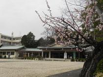 社殿前庭 櫻が咲いています。