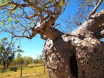 Day35Boab Tree