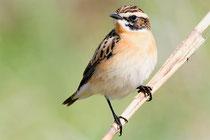 Rotkehlchen - Vogel des Jahres 2021; Foto: Podgorski/www.naturgucker.de
