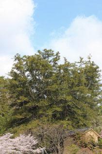 大法寺 青木村指定天然記念物 かやの木