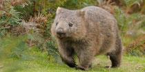 Le Wombat, petit animal australien, qui accompagnera les régates d'Aurelio.
