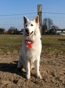Obedience Beginner mit V bestanden