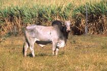 セブ牛と呼ばれるこぶ牛
