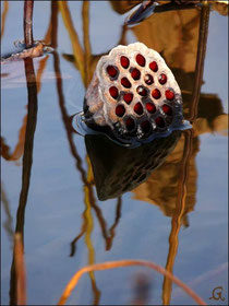 photographie numérique lotus sacrés