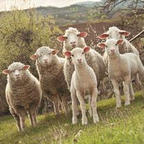 Gruppe von Schafen und Lämmern