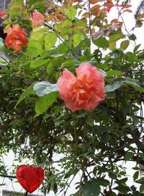 Rosen mit Herz (im Garten)