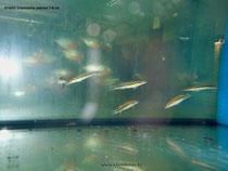 674052 Crenicichla zebrina 7-8 cm