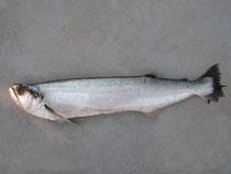 Rhaphiodon vulpinus (Biara)