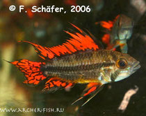 Apisto. cacatuoides Mega Red g.br.