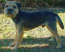 Border Terrier - WIKIPEDIA