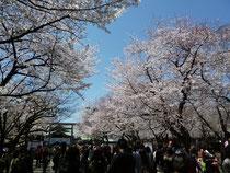 満開の桜を楽しむ多くの人