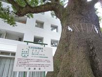 文京区保護樹木