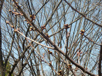 やはり桜はまだまだです