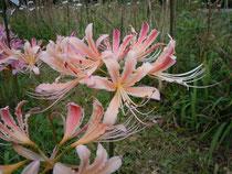 淡いピンクオレンジクリーム花(実生試作品)