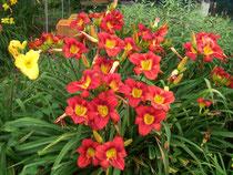 群れ咲く赤花