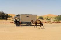 Fernreisemobil, Allradlkw, Reisebericht Marokko, Wüste, Kamel