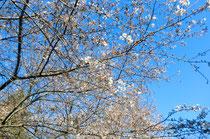 2,3分咲きの桜と春の青空