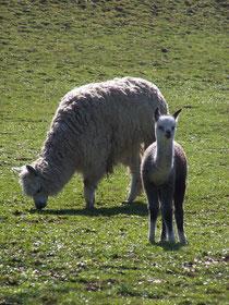 Alpaca-Stute Isluga mit Cria Parinacotta