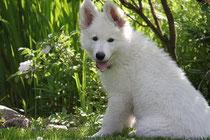 Un chiot berger blanc assis dans les bois  par coach canin 16 éducateur canin en charente