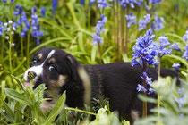 un chiot noir et blanc dans un champ de fleurs digitales de couleur mauves par coach canin 16 éducateur canin en charente