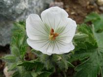 チシマフウロウ 白花