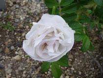 ハマナス 八重白花