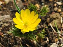 花言葉は「永久の幸福」「思い出」「幸福を招く」「祝福」だそうですが毒草です。地面から芽を出したばかりの頃は、フキノトウと間違えて食べ、中毒を起こすこともあるそうです。