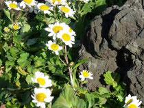 海岸の崖地や草地に生える多年草