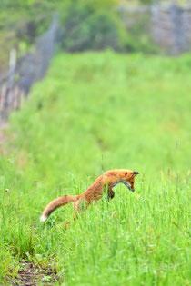 mousing:キタキツネの狩り 伏屋岩尾