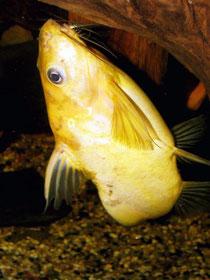 """Synodontis nigrita """"Yellow"""""""