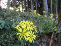 近所の山のツワブキの花がきれいデス。
